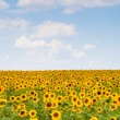 Picture of yellow sunflowers over blue sky — Stock Photo #52945457