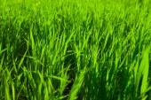 新鮮な緑の芝生 — ストック写真