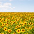 Picture of yellow sunflowers over blue sky — Stock Photo #54281433