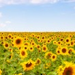 Yellow sunflowers over blue sky — Stock Photo #54867431