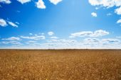 Field of ripened wheat growing under a clear blue sky — Stock Photo
