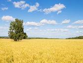 Tree in Weat Field — Stock Photo