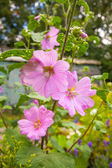 Pink hollyhock flowerrs — Stock Photo