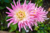 Różowy dalia w ogrodzie — Zdjęcie stockowe
