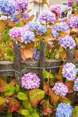 Violet, pink and blue hydrangea blossom — Stock Photo