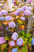 Violet, pink and blue hydrangea blossom — 图库照片