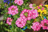 Beautiful blooming verbena close up — Stock Photo