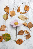 Autumnal white background with dry leaves and a flower — Stock Photo