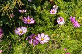 Beautiful landscaped summer garden, cosmos, flowers — Stock Photo