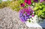 Beautiful lobelia flowers ouside a house — Stock Photo
