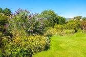 Butterfly bush, Violet butterfly bush, Summer lilac, Buddleia davidii — Stockfoto