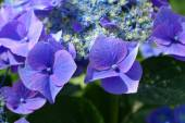 Blue hydrangea — Stock Photo