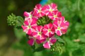 Red and white verbena flowers in a garden — Stock Photo
