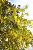 Golden yellow scented flowering branches of the Golden Rain tree — Stockfoto