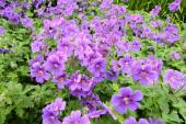 Violet geranium flowers along the path — 图库照片