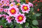 Beautiful dahlia blossom in the garden  — Stock Photo