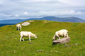 Sheep and horses in the fields of Iona in the Inner Hebrides, Scotland Sheep in the fields of Iona in the Inner Hebrides, Scotland — Stock Photo