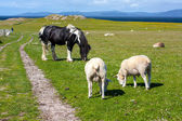 Sheep and horses in the fields of Iona in the Inner Hebrides, Scotland — Stock Photo