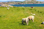 Sheep in the fieldf of Iona in the Inner Hebrides, Scotland Sheep in the fields of Iona in the Inner Hebrides, Scotland — Stock Photo