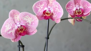 Beautiful pink orchid, footage — Stock Video