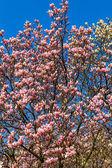 Rosa magnolia grenar. — Stockfoto