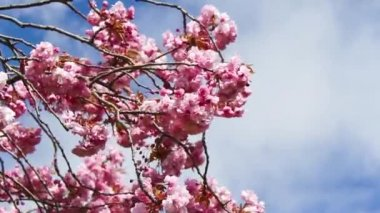 Pink Japanese tree blossom in the wind — Stock Video