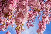 Beautiful Japanese cherry tree blossom — Stock Photo