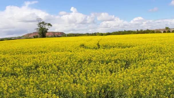 Beautiful rapeseed fields with blue sky, footage — Vídeo de stock