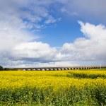 Beautiful landscape with vivid field of rape seed — Stock Photo #77098897