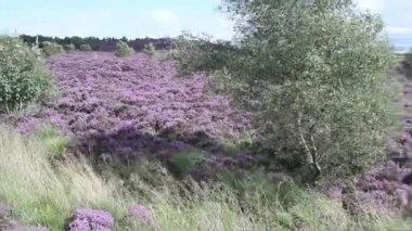 Fields of blooming heather, Scotland, HD footage — Stock Video