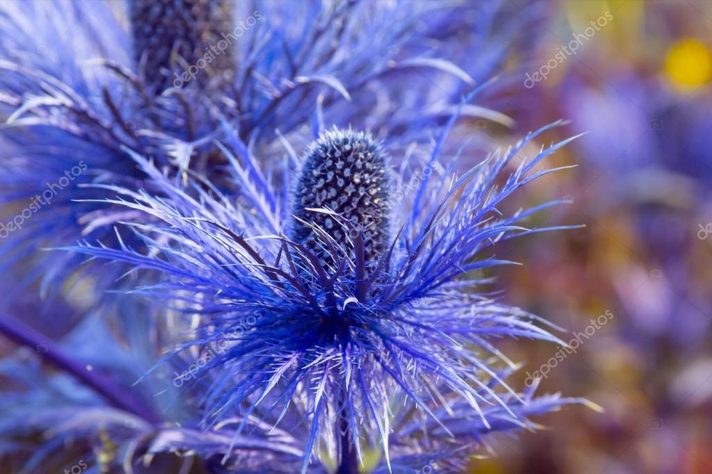 цветок синеголовник