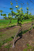 Vineyards at sunny day, grapes in spring — Stock Photo