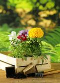 Garden flowers, tools (rake, shovel, watering can) — Stock Photo