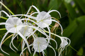 White lily flowers in a garden — Stock Photo