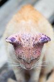 Sick cat with skin disease, close up. — Stock Photo
