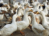 Domestic ducks in the poultry yard — Stock Photo