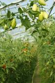 Oblong green tomatoes hanging in hothouse — Stock Photo