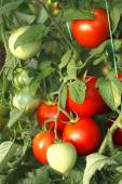 Bunch of red tomatoes in greenhouse — Stock Photo