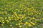 Lots of flowering dandelions — Stock Photo