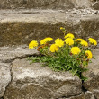 First dandelion on concrete staircase — Stock Photo #59793869