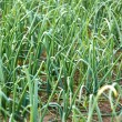 Green onion plants in soil — Stock Photo #66921939