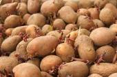 Heap of sprouting potato tubers — Stock Photo