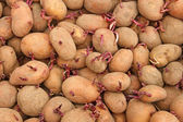 Pile of potato tubers germinated sprouts — Stock Photo