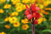 Red canna flower — Stock Photo