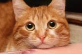 Red cat closeup — Stock Photo