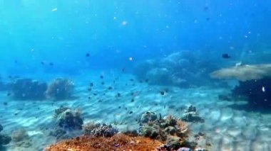 Thriving  coral reef alive with marine life and shoals of fish, Bali. — Stock Video
