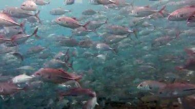 School of fish Bigeye Trevallies (Tursiops truncates) reefs Bali — Stock Video