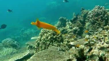 Trumpetfish (Aulostomus chinensis) swimming underwater in the Bali Sea. — Stock Video