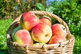 урожай красные сочные яблоки в корзину — Стоковое фото