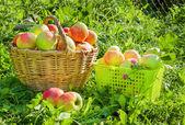 урожай красных сочных яблок в корзинах — Стоковое фото